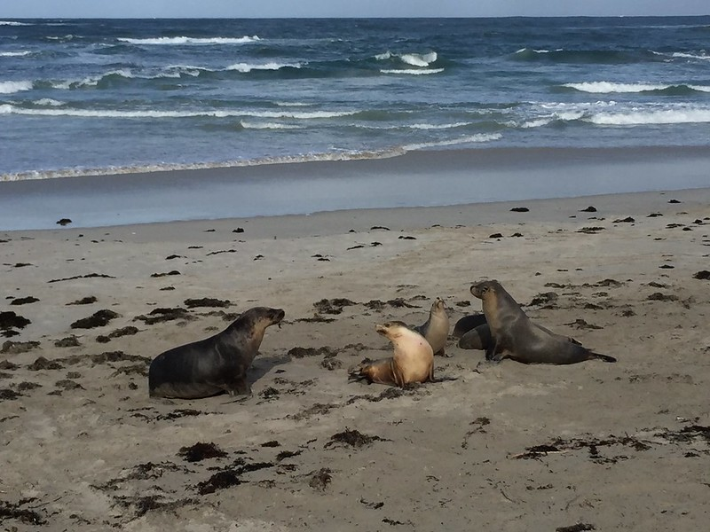 Sea lions at Seal Bay Conservation Park
