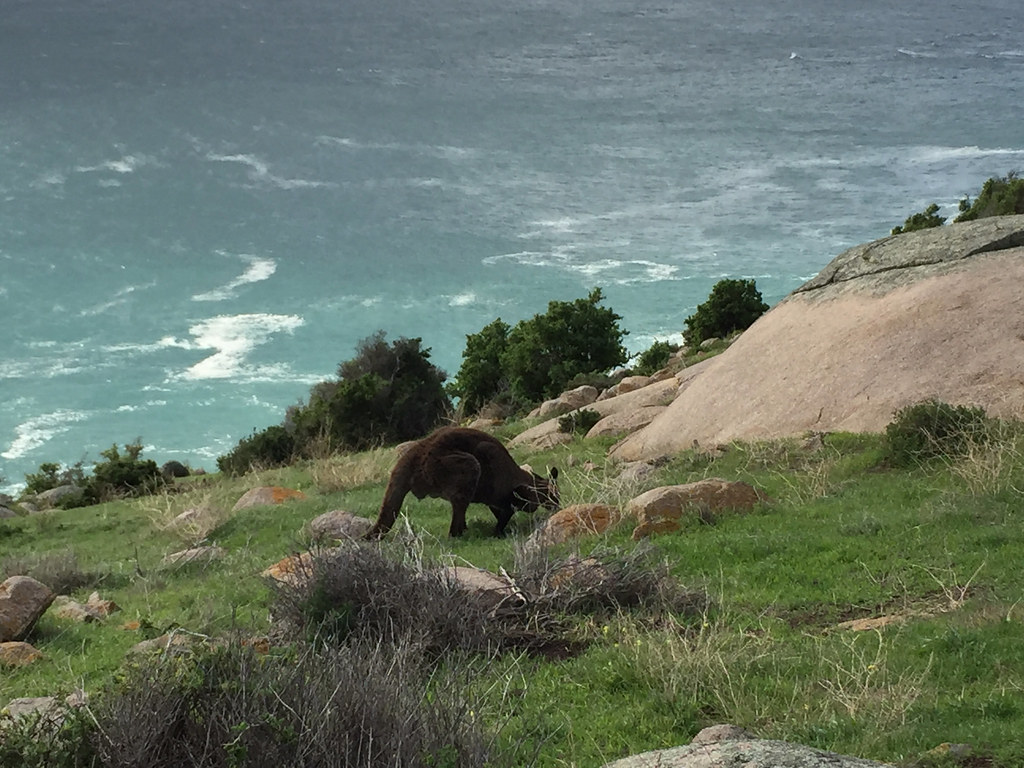Kangaroo at Cape Willoughby