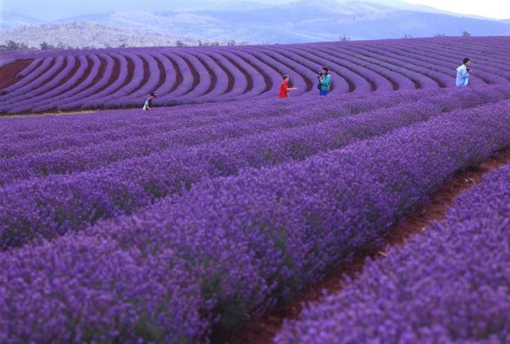 Visit glorious lavendar fields in Tasmania.