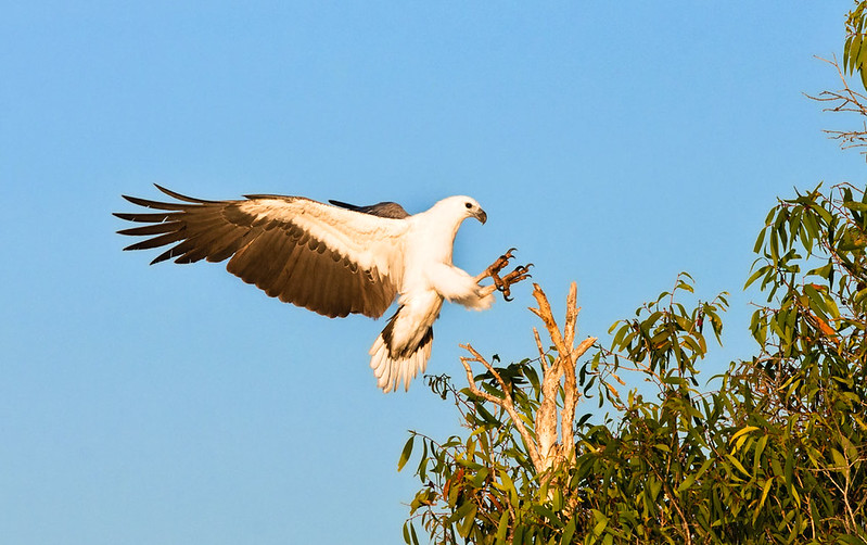 White bellied Sea Eagle Kangaroo Island