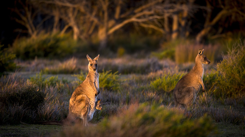 kangaroo family grassing at sunset