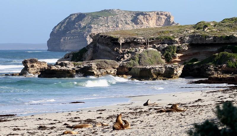 kangaroo island seal bay reserve
