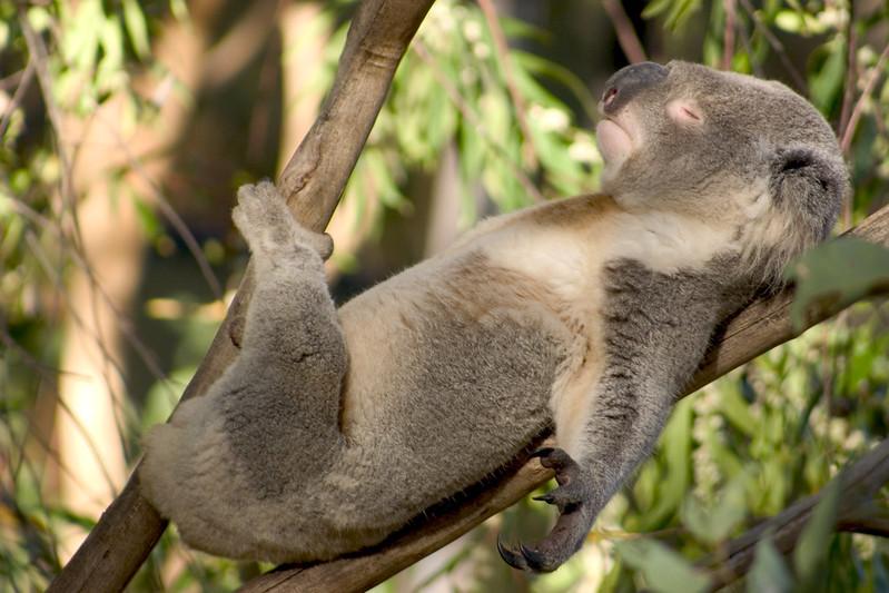 koala in tree on kangaroo island